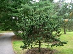 Pinus aristata / Сосна остиста