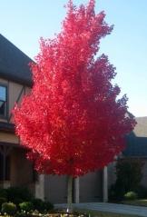 Клен червоний Октобер Глорі<br>Acer rubrum October Glory<br>Клён красный Октобер Глори