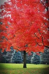 Клён красный Октобер Глори Acer rubrum October Glory Клен червоний Октобер Глорі