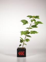 Acer rubrum October Glory возраст 2 года