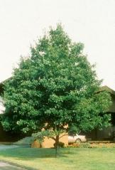 Acer rubrum October Glory