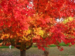 Клён красный October Glory Acer rubrum October Glory