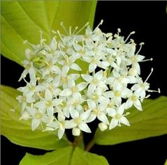 Дерен білий Ауреа суцвіття