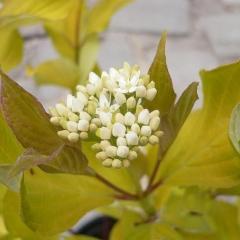 Дерен білий Ауреа цвіт