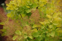 Cotinus coggygria Golden Spirit (Smoke tree)