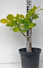 Скумпія шкіряста Голден Спіріт висота рослини 35см