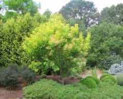 Cotinus coggygria Golden Spirit (Ancot)