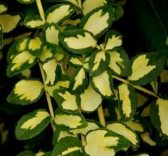 Euonymus fortunei Interbolwi