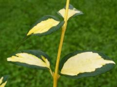 Бруслина Форчуна Блонді, листок