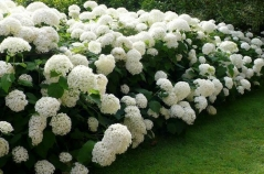 Гортензія деревовидна Аннабель <br> Гортензия древовидная Аннабель <br>Hydrangea arborescens Annabelle