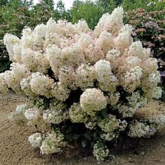 Гортензія волотиста Бобо ® <br> Гортензия метельчатая Бобо ® <br> Hydrangea paniculata Bobo ®