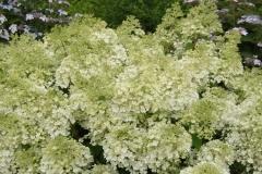 Hydrangea paniculata Bobo (R) купити