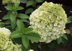Гортензія черешкова Бобо ® Hydrangea paniculata Bobo