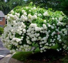 Гортензія черешкова Грандіфлора Hydrangea paniculata Grandiflora