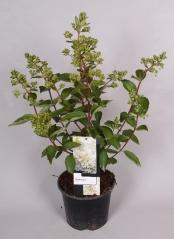 Hydrangea Grandiflora контейнер 3л
