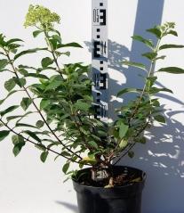 Гортензія черешкова Grandiflora 4 роки