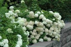 Гортензія черешкова Grandiflora Київ