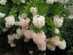 Гортензія черешкова Грандіфлора / Hydrangea paniculata Grandiflora фото