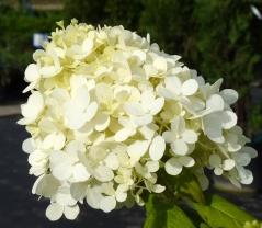 Гортензія черешкова Grandiflora купити