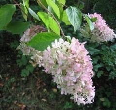 Гортензія черешкова Грандіфлора Hydrangea paniculata Grandiflora цвітіння
