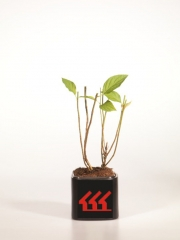 Гортензия Метельчатая Hydrangea Paniculata Limelight возраст 2 года