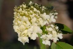 Гортензия метельчатая Limelight