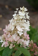 Гортензія черешкова Пінкі Вінкі PBR/® цвітіння