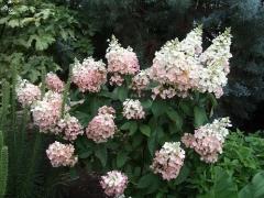 Hydrangea paniculata Pinky Winky (R)