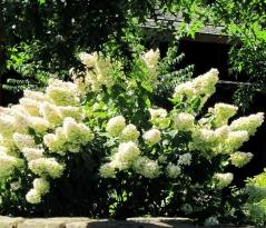 Гортензія волотиста Юнік <br> Гортензия метельчатая Юник <br> Hydrangea paniculata Unique