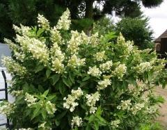 Гортензия метельчатая Юник Hydrangea paniculata Unique Гортензія метельчата Юнік