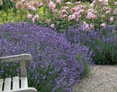 Лаванда узколистная Дварф Блю Lavandula angustifolia Dwarf Blue Лаванда вузьколиста Дварф Блю