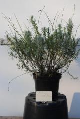 Лаванда узколистная Дварф Блю / Lavandula angustifolia Dwarf Blue