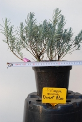 Лаванда узколистная / Lavandula angustifolia Dwarf Blue