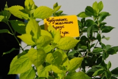 Жасмин садовий / Чубушник вінечний Ауреус
