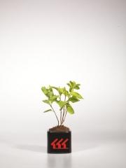 Чубушник вінечний / жасмін садовий Ауреус вік 2 роки