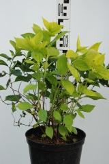 Чубушник вінечний / жасмін садовий Ауреус в контейнері