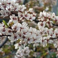 Слива розчепірена Хессея<br>Слива растопыренная Хессея <br>Prunus cerasifera Hessei