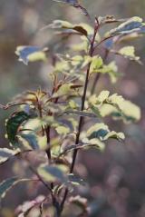 Слива Хессея листя