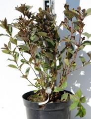 Вейгела квітуча Нана Пурпуреа / Nana Purpurea 3роки
