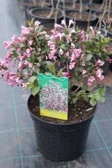 Вейгела цветущая Нана Пурпуреа / Weigela florida Nana Purpurea
