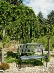 Picea abies Pendula Major