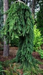 Ялина звичайна Фробург<br>Ель обыкновенная Фробург / Фрохбург <br>Picea abies Frohburg