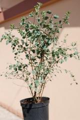 Spiraea vanhouttei 4 года (сентябрь)