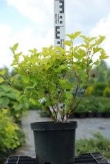 Пухироплiдник калинолистий Лютеус листя