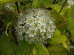 Пухироплiдник калинолистий Лютеус цвіт