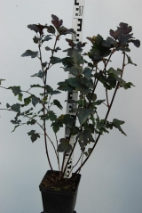 Physocarpus opulifolius Red Baron