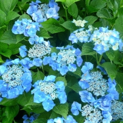 Hydrangea macrophylla Mariesii Perfecta / Blue Wave