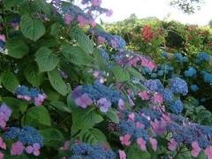 Гортензія крупнолиста Марієсі Перфекта цвітіння