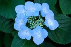 Гортензія крупнолиста Mariesii Perfecta квітка