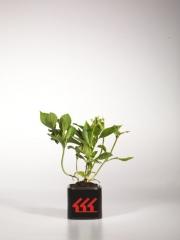 Гортензія крупнолиста Hydrangea Macrophylla Mariesii Perfecta вік 2 роки
